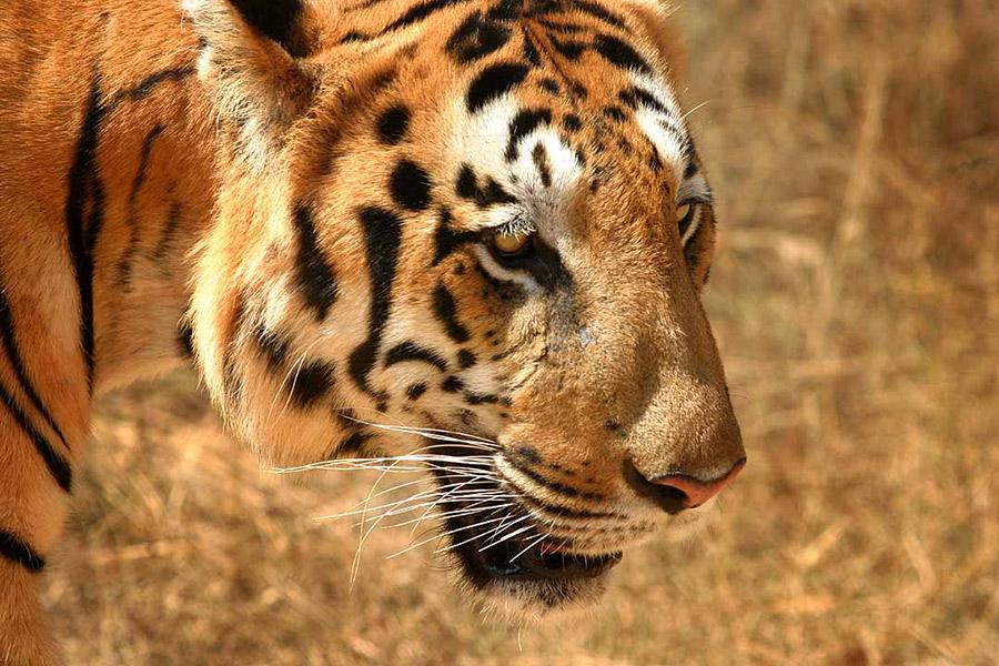 tigre india del sud
